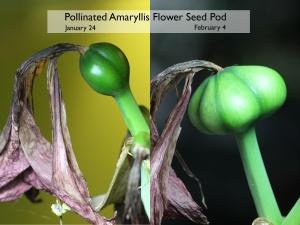 amaryllis seed pod 11 days apart
