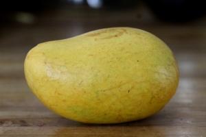 mango germination 1