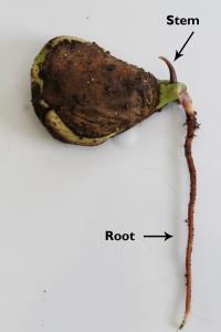 mango germination 11