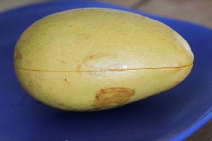 mango germination 2