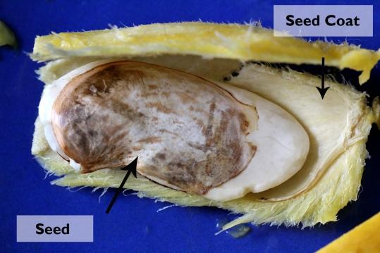 mango germination 7 copy